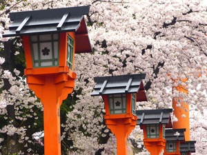 Lanterns amongst the Cherry Blossoms